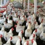 Definition Of Poultry Husbandry