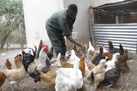 Organic Chicken Farming Profitable