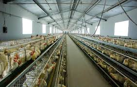 Poultry Farming Business Plan For Beginners